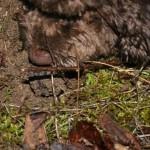 Cavage de la truffe